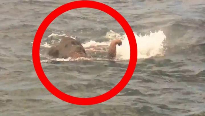 Aventură mai puțin obișnuită. Un elefant a înotat în mare 16 km și a fost salvat în ultima clipă (VIDEO)