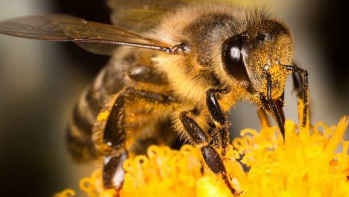 O moleculă din veninul albinelor poate distruge celulele cancerului de sân