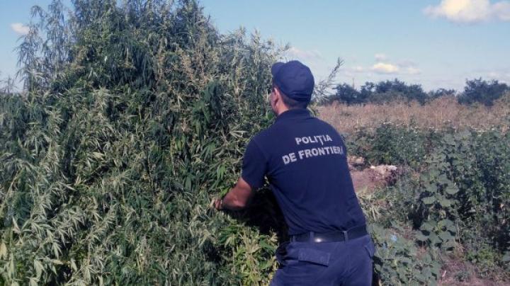 Circa 2.000 de fire de cânepă au fost descoperite şi nimicite de poliţişti de frontieră (FOTO)