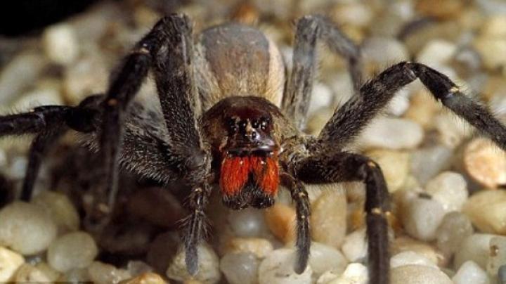 DE NECREZUT! Veninul unui păianjen poate provoca ERECȚII neîntrerupt timp de 4 ore