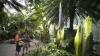 """Eveniment unic. Trei """"flori-cadavru"""" vor înflori la Grădina Botanică din Washington (VIDEO)"""