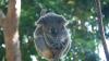 Internauţii caută nume pentru un urs koala cu blana albă dintr-o menajerie din Australia