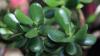Planta banilor - arborele de jad, cel care atrage energii pozitive și câștiguri substanțiale