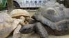 O ţestoasă fugară a fost găsită după două săptămâni, la doar 140 de metri distanţă de Zoo