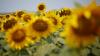 În nordul ţării a început recoltarea florii-soarelui. Agricultorii se aşteaptă la rezultate bune
