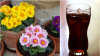 Nu numai oamenilor le place cola. Reacția incredibilă a florilor după ce sunt udate câteva zile cu renumita băutură răcoritoare