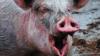 Incident șocant! O femeie a murit după ce a fost mușcată de un porc din gospodărie