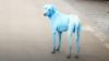 Fenomen neobișnuit în Mumbai. Toți câinii vagabonzi au devenit albaștri, după ce au băut apă dintr-un râu din Mumbai