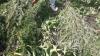 Plantații de cânepă, depistate într-un lan de porumb. Făptaşii riscă o AMENDĂ USTURĂTOARE