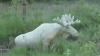 VIDEO VIRAL! Apariție rară în Suedia. Un elan alb a fost surprins de un cameraman