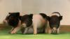 Oamenii de știință au reușit să modifice genetic porcii pentru ca organele lor să fie compatibile cu transplanturi la om