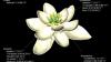 Cum arăta prima floare de pe pământ, acum 140 de milioane de ani (FOTO)