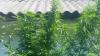 Mai multe plantații de cânepă au fost descoperite și nimicite de polițiștii de frontieră