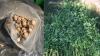 Plante de cânepă şi mac, descoperite în grădina unor indivizi din Capitală