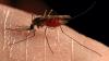 Ţânţarul comun poate fi purtător al virusului Zika