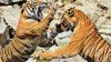 O luptă crâncenă între doi tigri s-a sfârșit doar după un minut. Ce s-a întîmplat, de fapt