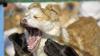 PRĂPĂD! O haită de câini înfometaţi I-A ÎNSPĂIMÂNTAT pe locuitorii unei comune