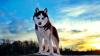 """Crește numărul abandonurilor de câini husky după popularitatea lor în serialul """"Game of Thrones"""""""