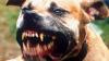 Caz șocant! O fetiță e 8 ani a fost ucisă de un pitbull