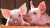 Pestă porcină din ţară, bătăie de cap. Crescătorii de porci sun îngrijoraţi de focari