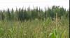 Încă o plantaţie de cânepă cultivată, nimicită de poliţişti (VIDEO)