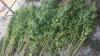 Şi-a cultivat cânepă în grădină. Poliţia a identificat 370 de plante în spatele casei (VIDEO)