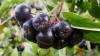 A început culesul pomuşoarelor de aronia. În Moldova sunt în jur de 15 hectare de plantaţie