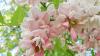 Cinci afecţiuni pe care le poţi trata cu flori de salcâm: Insomnie
