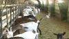 Laptele de capră, deja și pe rafturile magazinelor din Moldova. Care este prețul unui litru