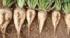Recolta de sfeclă de zahăr ar putea ajunge în acest an până la 30 de tone la hectar
