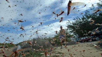 În plină pandemie de coronavirus, India și Pakistan se confruntă și cu invazia lăcustelor