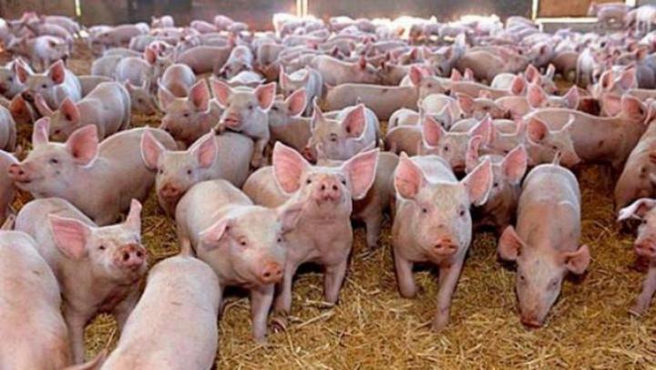Rusia a blocat importurile de porci vii și carne de porc din România, după descoperirea unui focar de pestă porcină