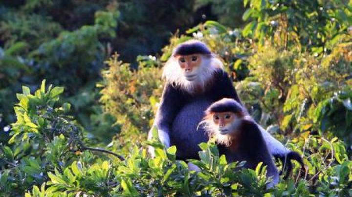 Vietnamul vrea să restabilească 80 de hectare de pădure, doar pentru a salva o specie rară de maimuță