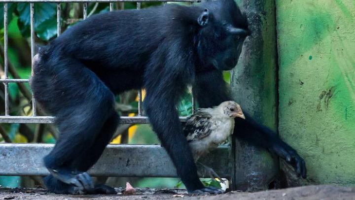 Greu de explicat. O maimuţă a adoptat un pui de găină