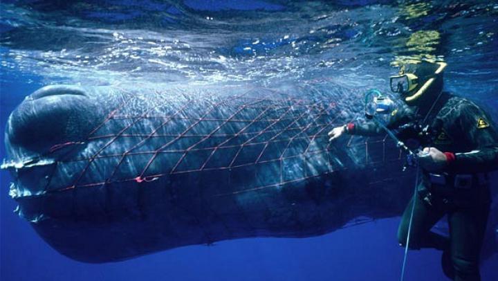 Rusia-principalul furnizor de orci și balene albe. Vânătoarea excesivă și comerțul necontrolat îngrijorează specialiștii