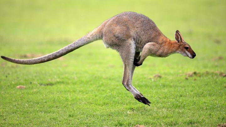 Doi canguri au evadat de la o grădină zoologică din Germania