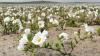 Deşertul Atacama s-a transformat într-un covor imens de flori. Cum arată acesta
