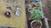 Plante de cânepă cultivate în ghiveciuri și un pistol, descoperite la domiciliul unui bărbat din Capitală