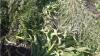 Cânepă semănată printre peneni verzi şi porumb. Poliţiştii au distrus 300 de fire uscate