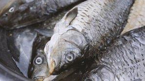 Peste 500 kilograme de pește fără acte de proveniență au fost descoperite de poliţie