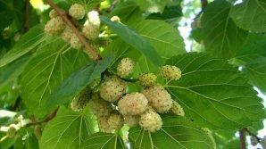 Sfaturi pentru sănătatea ta! Fructele care cresc pe toate drumurile şi tratează bolile de ficat