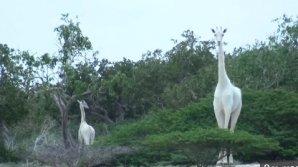 APARIŢIE DE EXCEPŢIE în sălbăticie. Pădurarii din Kenya au suprins două girafe albe (VIDEO VIRAL)
