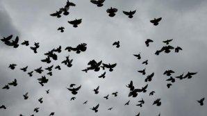 Invazie de porumbei la Paris. Au fost eliberaţi prădători pentru a scăpa de păsări
