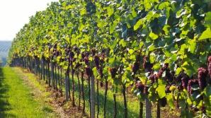 Peste 40 de viticultori, din nouă raioane, au participat la Festivalul Strugurilor