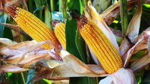 VEŞTI BUNE de la agricultori privind recolta din acest an. Care este producţia medie la hectar la culturile agricole