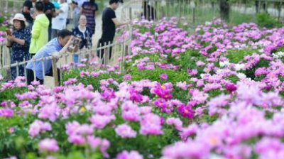 Savanţii chinezi au secvenționat masa totală de gene a bujorului, pentru obținerea unor varietăți personalizate