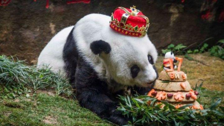 A murit Basi, cel mai bătrân urs panda din lume. A fost vedetă prin talentul de a merge pe bicicletă