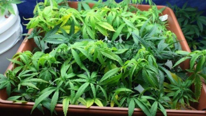 România: Doi italieni şi trei români cultivau canabis. Aceştia au fost prinşi cu două tone de droguri