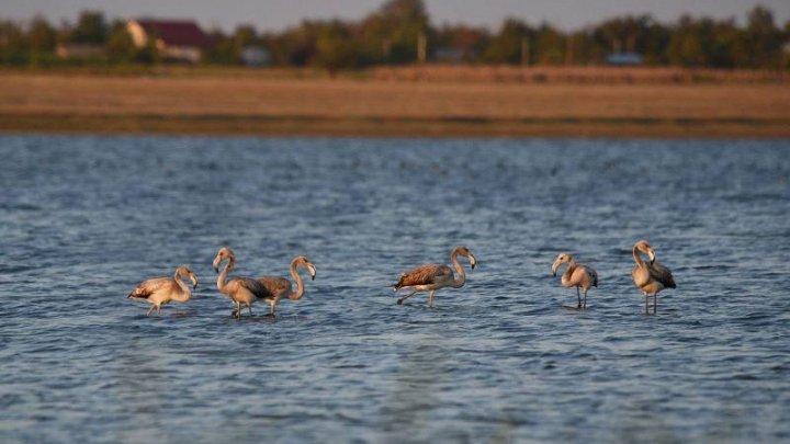 Păsări Flamingo în apropiere de Moldova. Unde au fost observate