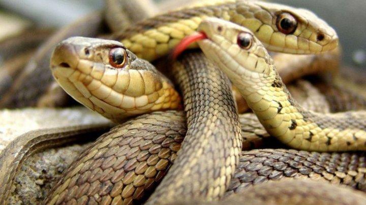 """Spitalul unde şerpii domină. Asistentă: """"M-am trezit cu un șarpe în pantof"""""""